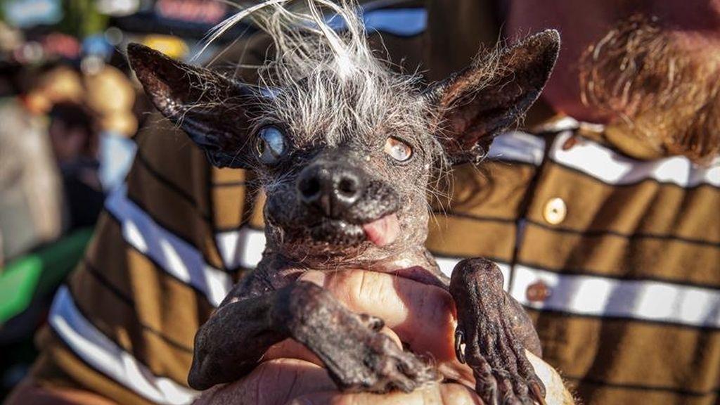 Sweepee Rambo, el perro más feo del mundo