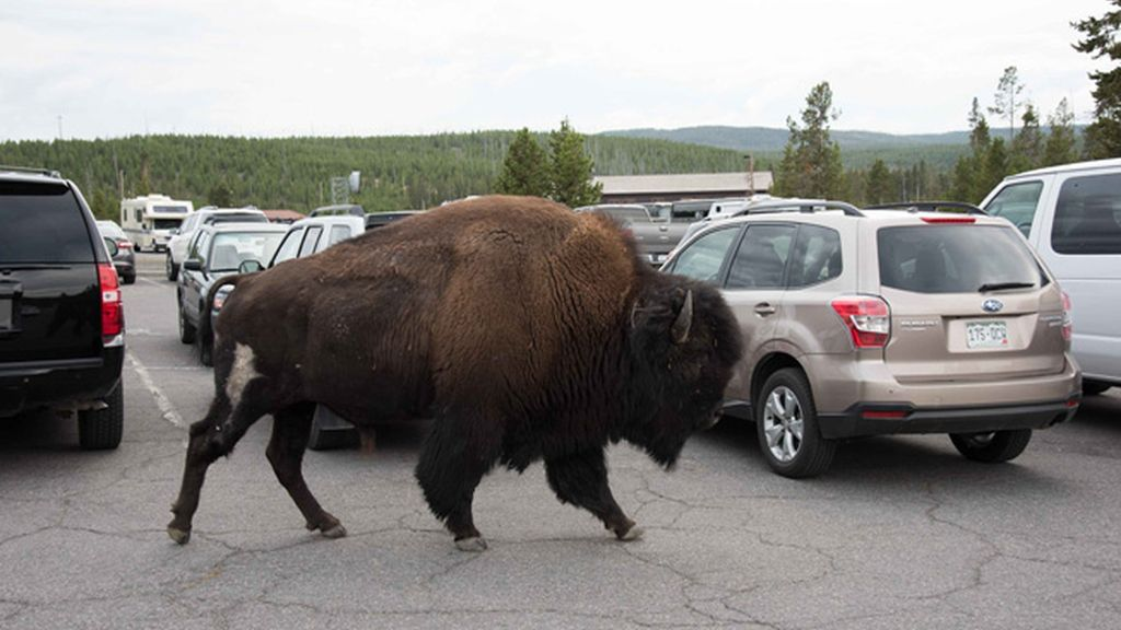 Un bisonte entre los coches