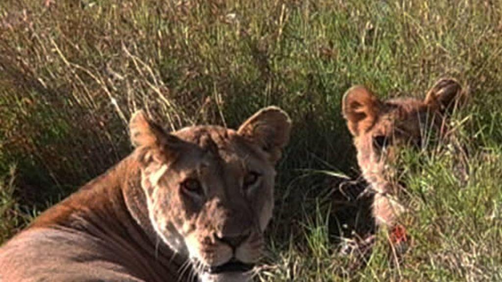 Leones en Kenia