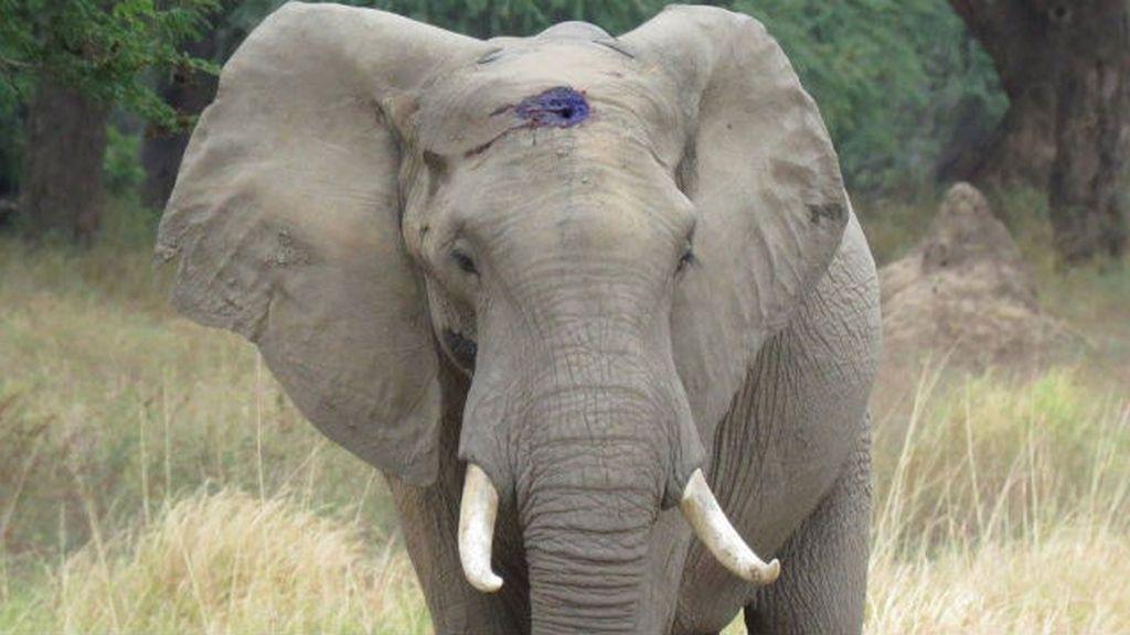 Elefante tiroteado, en Zimbawe
