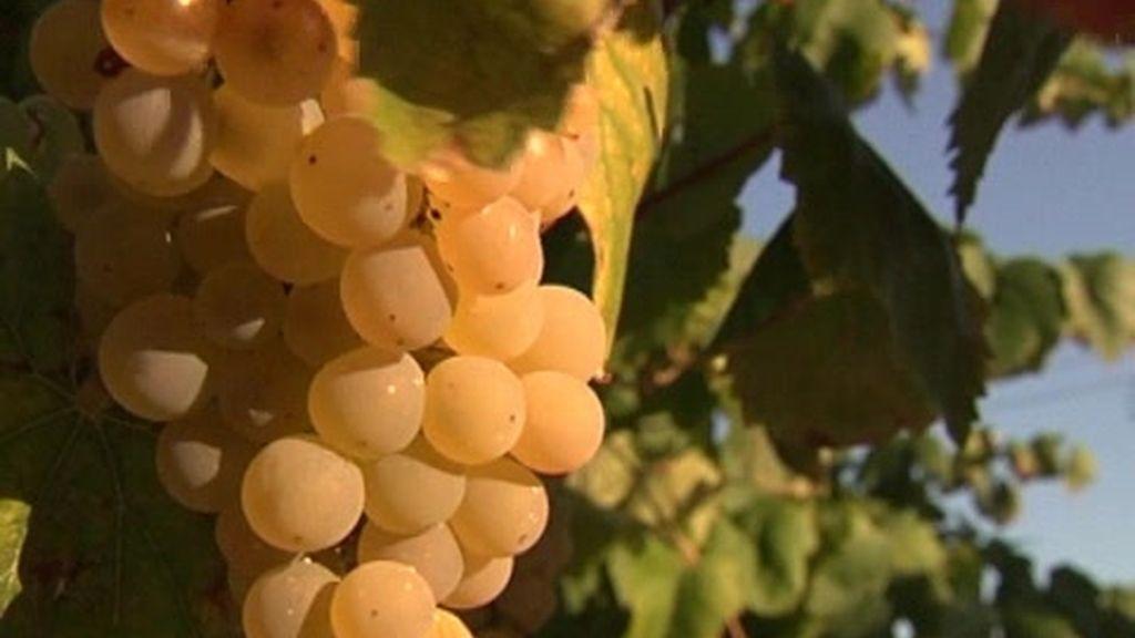 La vendimia de la uva blanca se adelanta