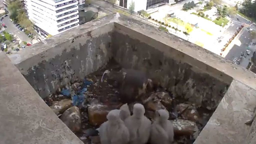 Crías de halcón en Madrid