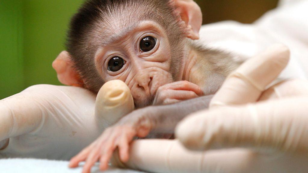 Nacen en china los primeros monos OGM