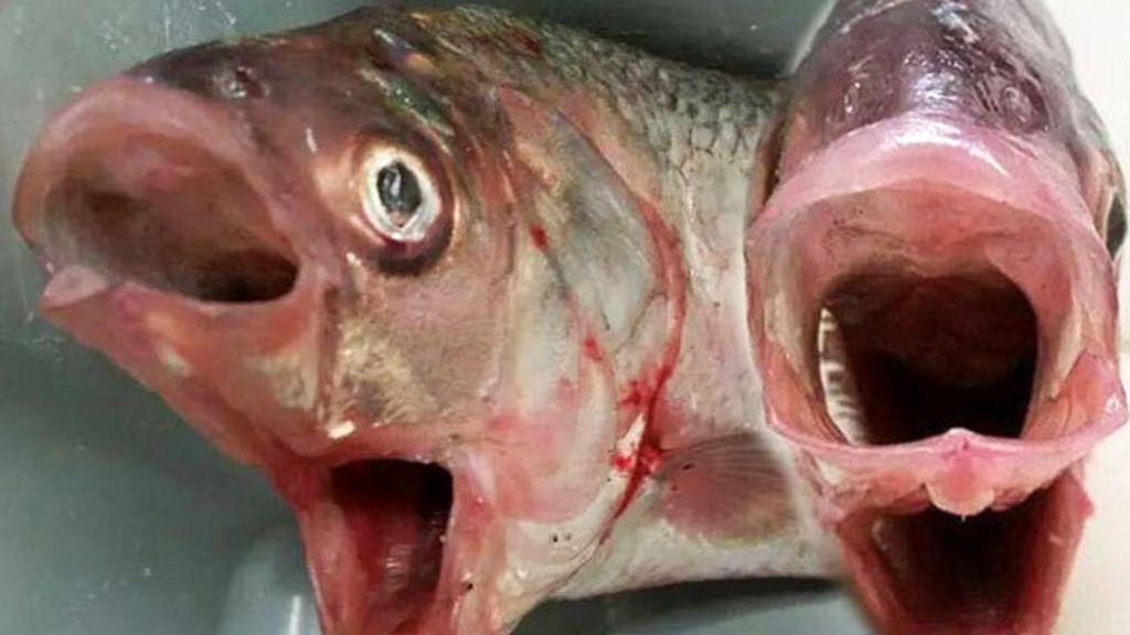 pez de dos bocas, pez raro