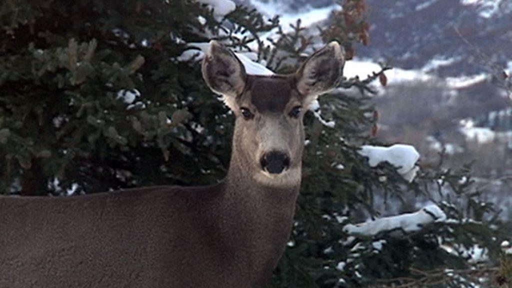Uno de los habitantes de Aspen