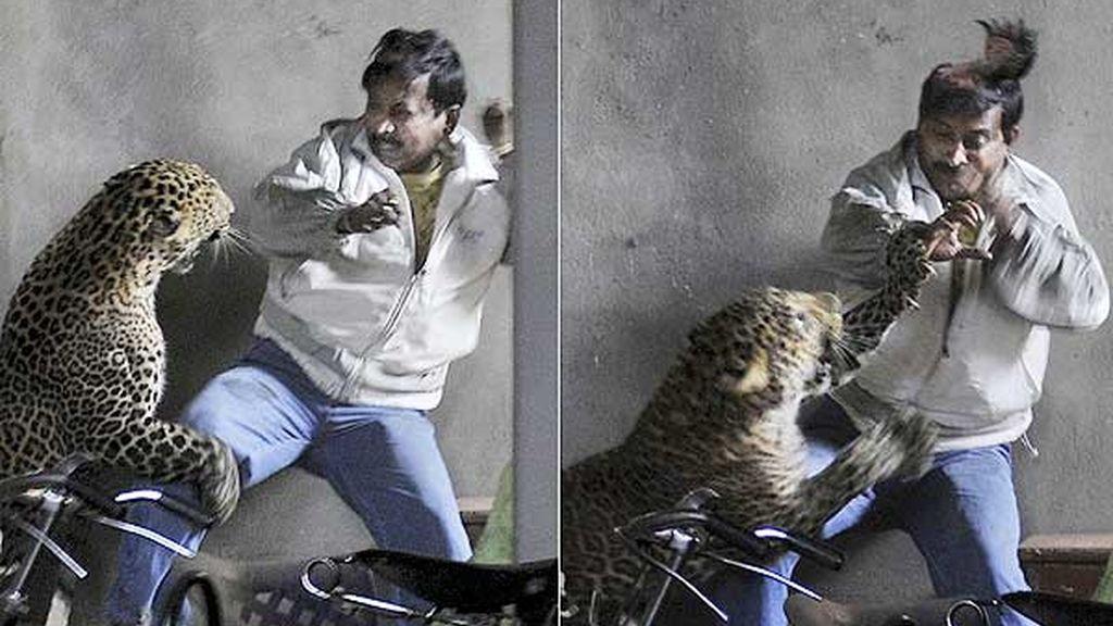 Momento en que el leopardo atacaba a un hombre al que le arrancó el cuero cabelludo.