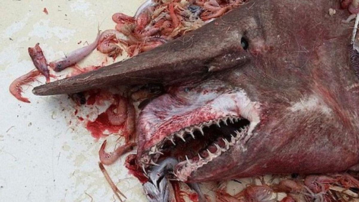 Expertos y especialistas se sorprenden tras la captura del 'Tiburón Duende'
