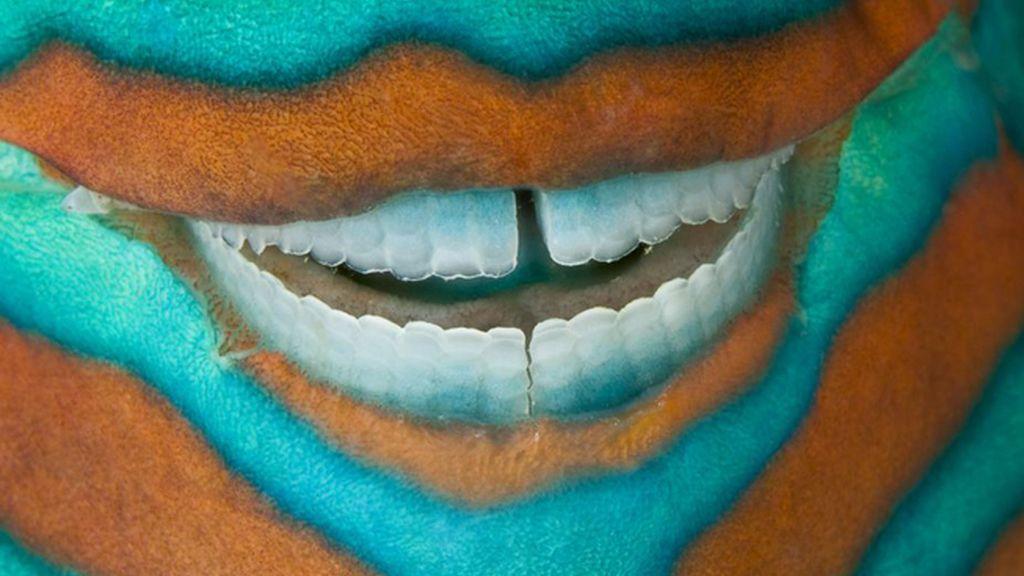 Un pez loro en la Gran Barrera de Coral, Australia