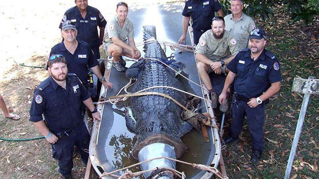 Cocodrilo gigante capturado en Australia.