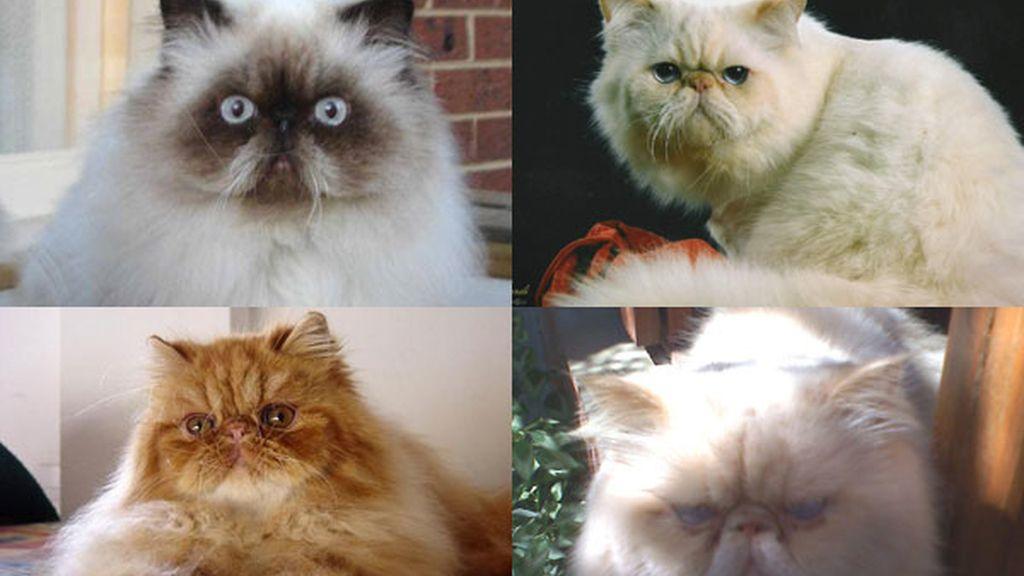Gato himalayo: Un gato persa con color de siamés