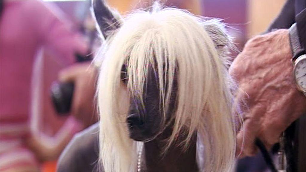 Concurso Internacional de Belleza Canina