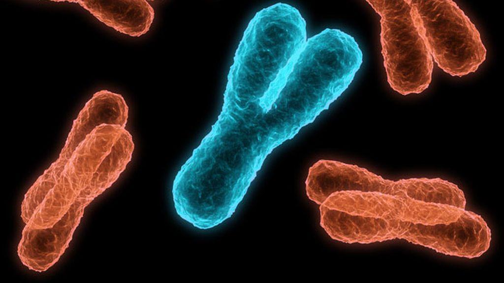 El cromosoma Y masculino, bajo sospecha: ¿No tan vital para la reproducción?