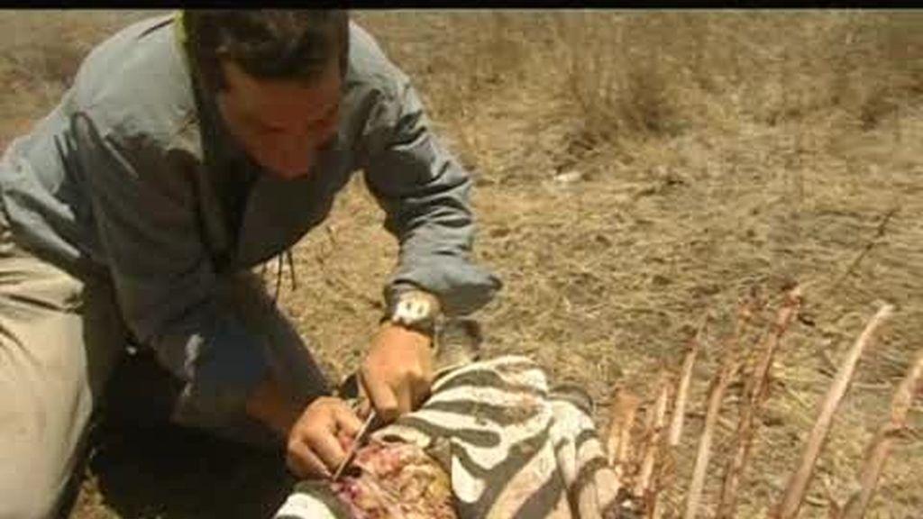 Sabana africana: ¿Cómo saber si la carne de un animal muerto está fresca?