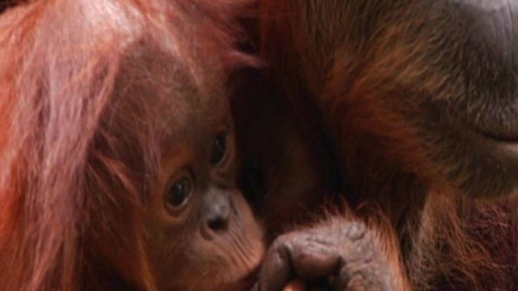 Promo Frank de la Jungla: Tan monos sin ser monos