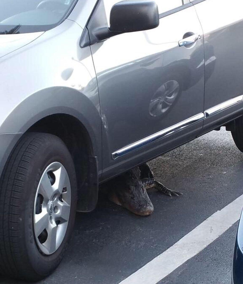 ¿Una excusa para llegar tarde a casa? Tener un caimán bajo el coche