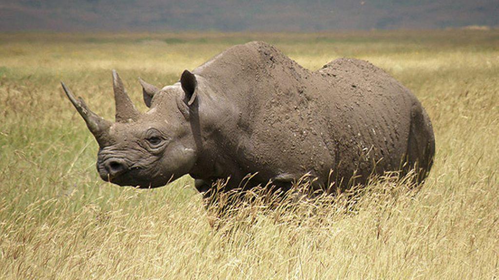 Un club de Texas vende por 350.000 dólares una licencia para cazar rinocerontes negros en Namibia