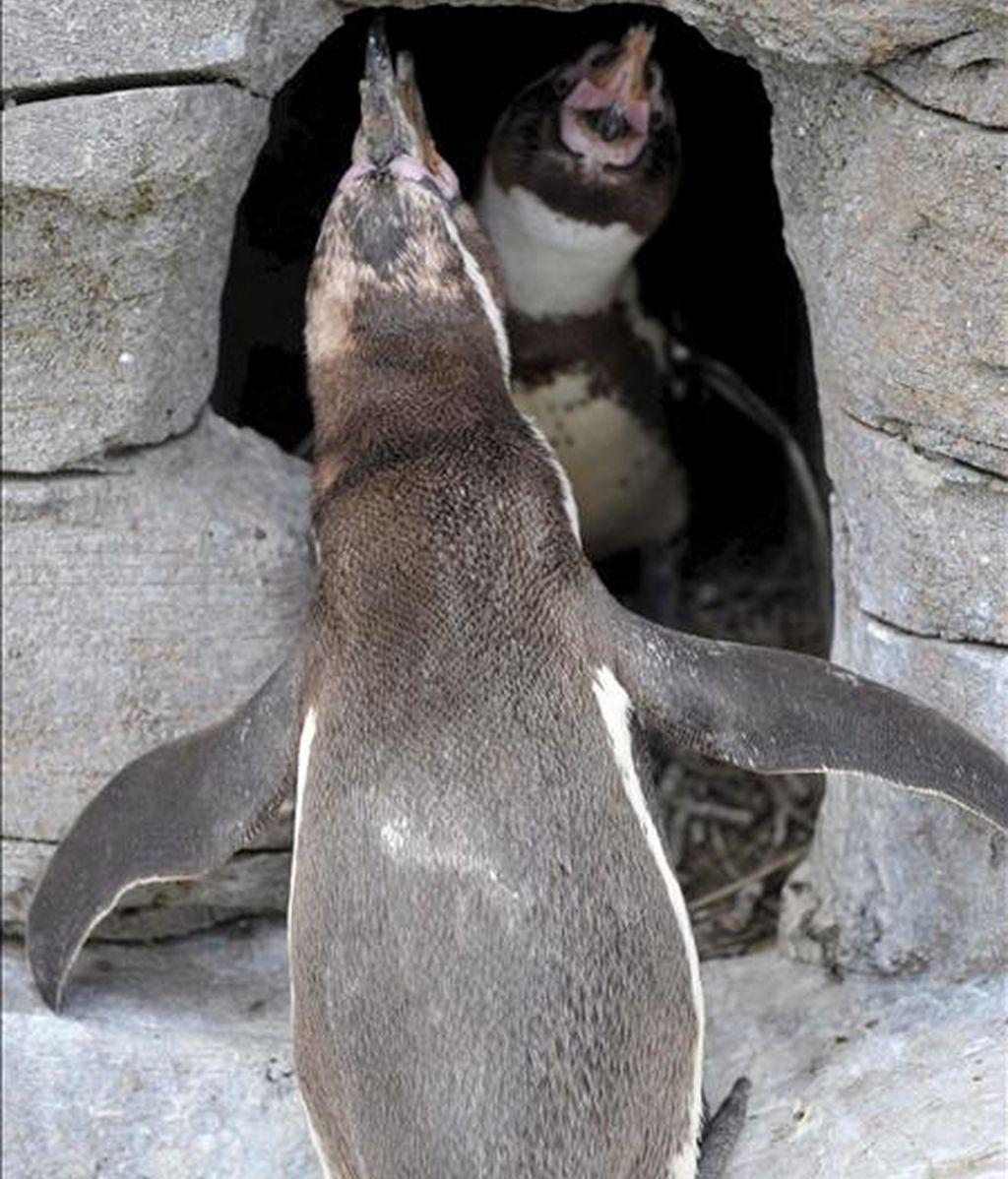 """Los pingüinos de Humboldt 'Z-Punkt' y 'Viel-Punkt' son fotografiados en su cueva en el Zoo """"Am Meer"""", en Bremerhaven, Alemania. Dos pingüinos gays adoptaron un huevo que fue rechazado por otros pingüinos hace un tiempo. Ambos criaron al huevo y alimentaron al polluelo. EFE"""