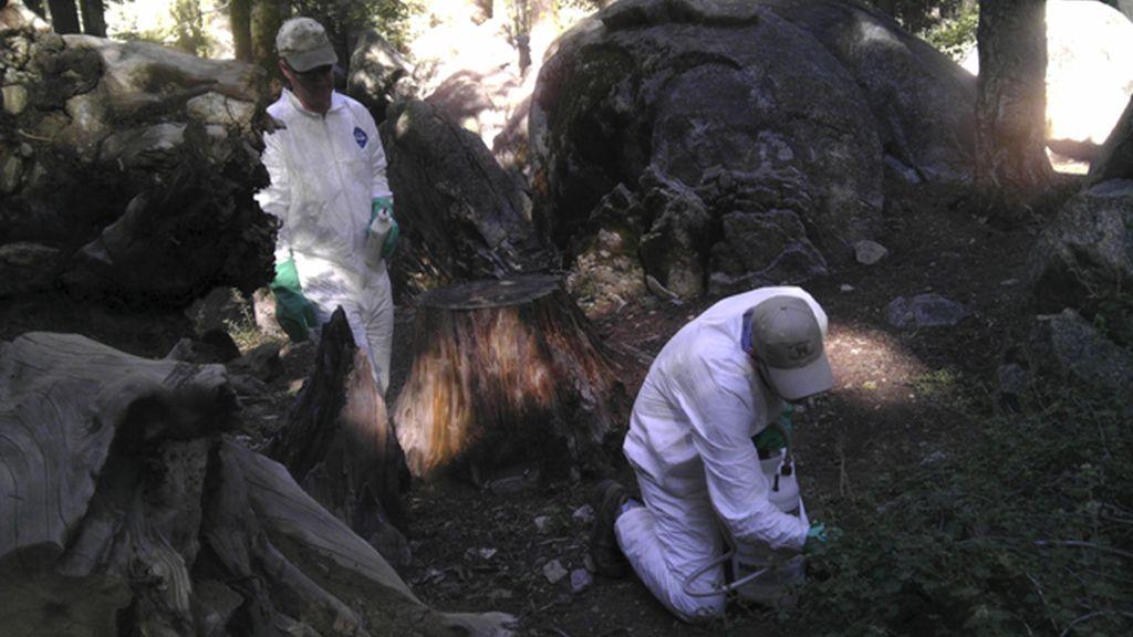 California investiga el segundo caso de 'peste' en el Parque Nacional de Yosemite