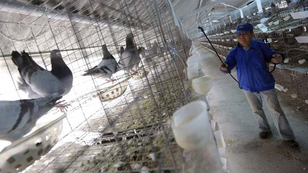 Aumentan las muertes por gripe aviar