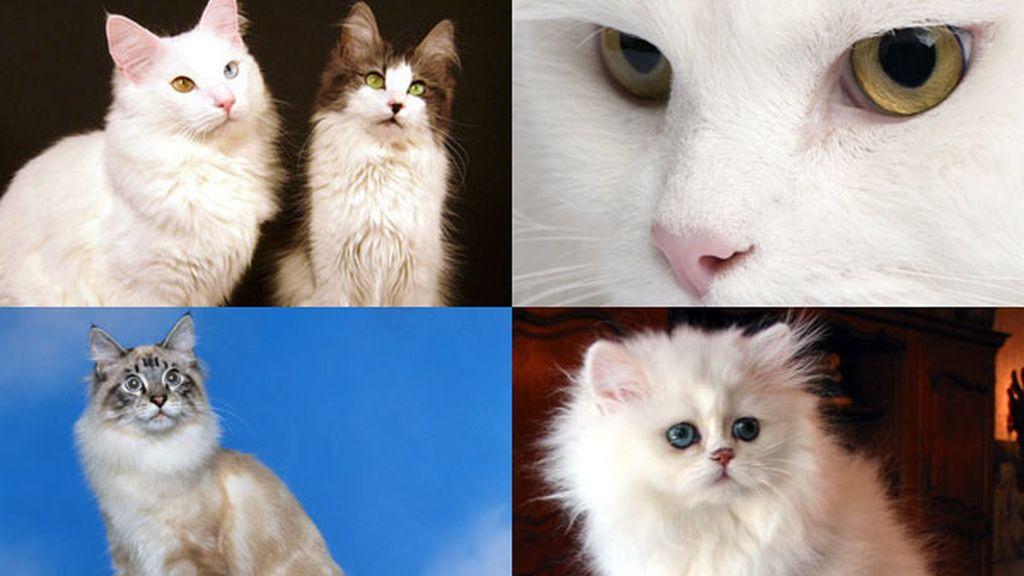 El gato de angora: Atlético y musculoso