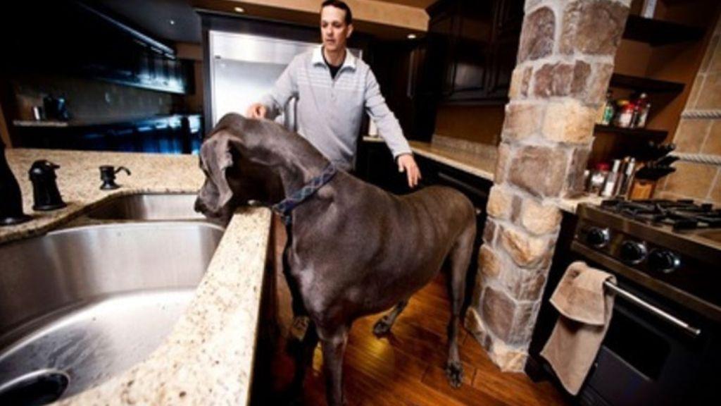 Muere 'Giant George' el perro más grande del planeta
