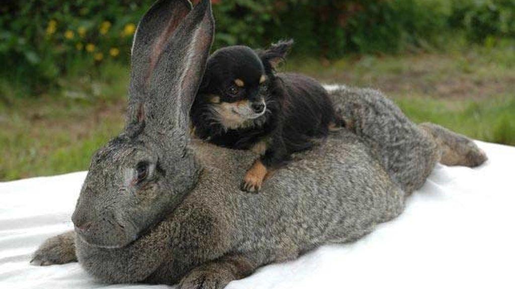Alice, un conejo de peso
