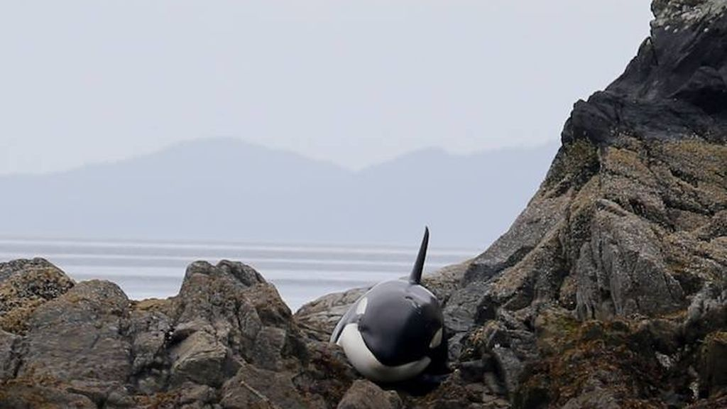 orca atrapada