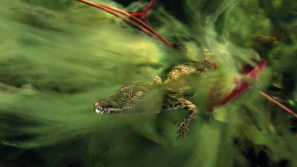 Cría de cocodrilo en el delta del Okavango en Botswana, África