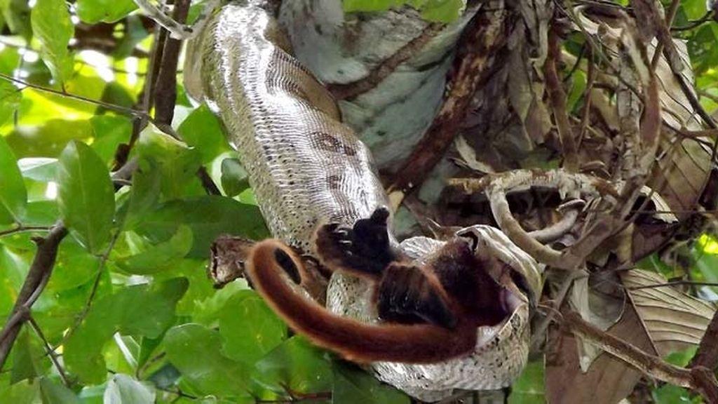 Impactantes imágenes de una serpiente devorando un mono