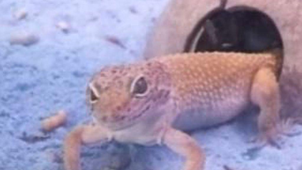Mascotas curiosas: Iguana