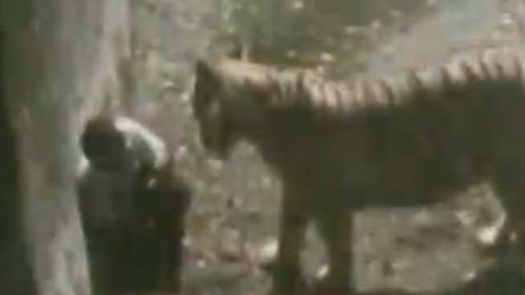 ataque de tigre,Zoológico de Nueva Delhi,India,tigre,estudiante muerto