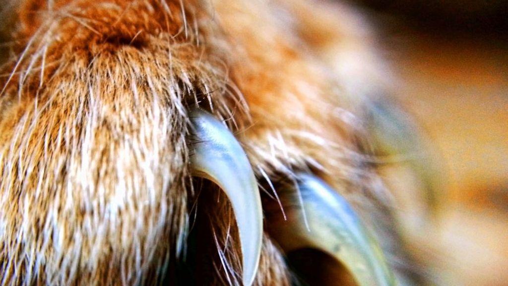 Primer plano de las garras de un felino