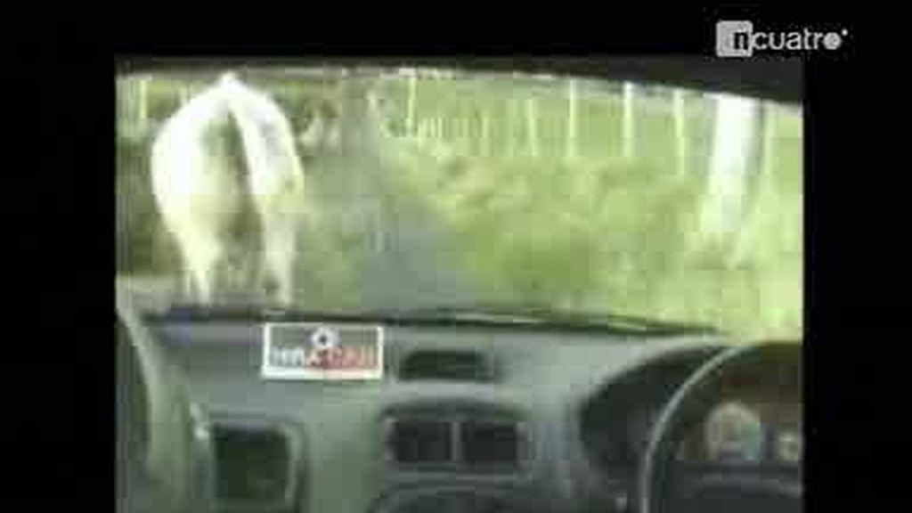 La vaca copiloto