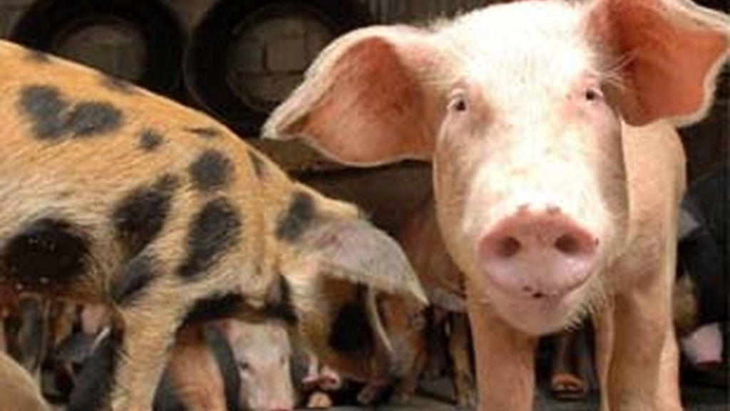 Hasta el momento, no se ha encontrado ningún cerdo enfermo con la cepa. Foto: EFE.