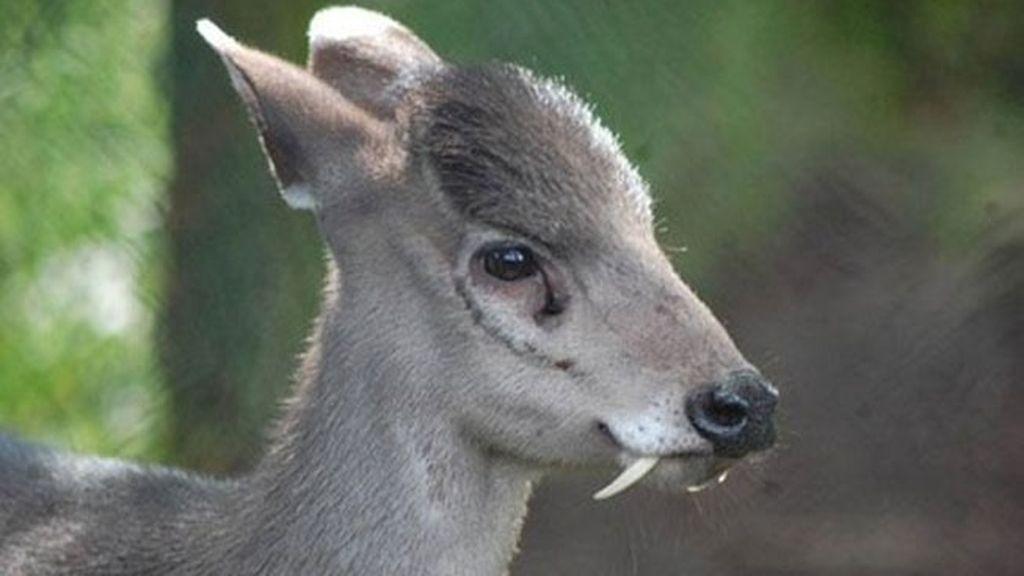El ciervo de copete  (Elaphodus cephalophus)