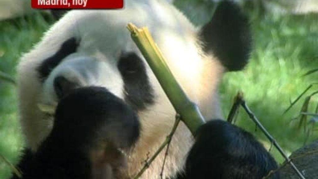 Expectación por las crías de oso panda