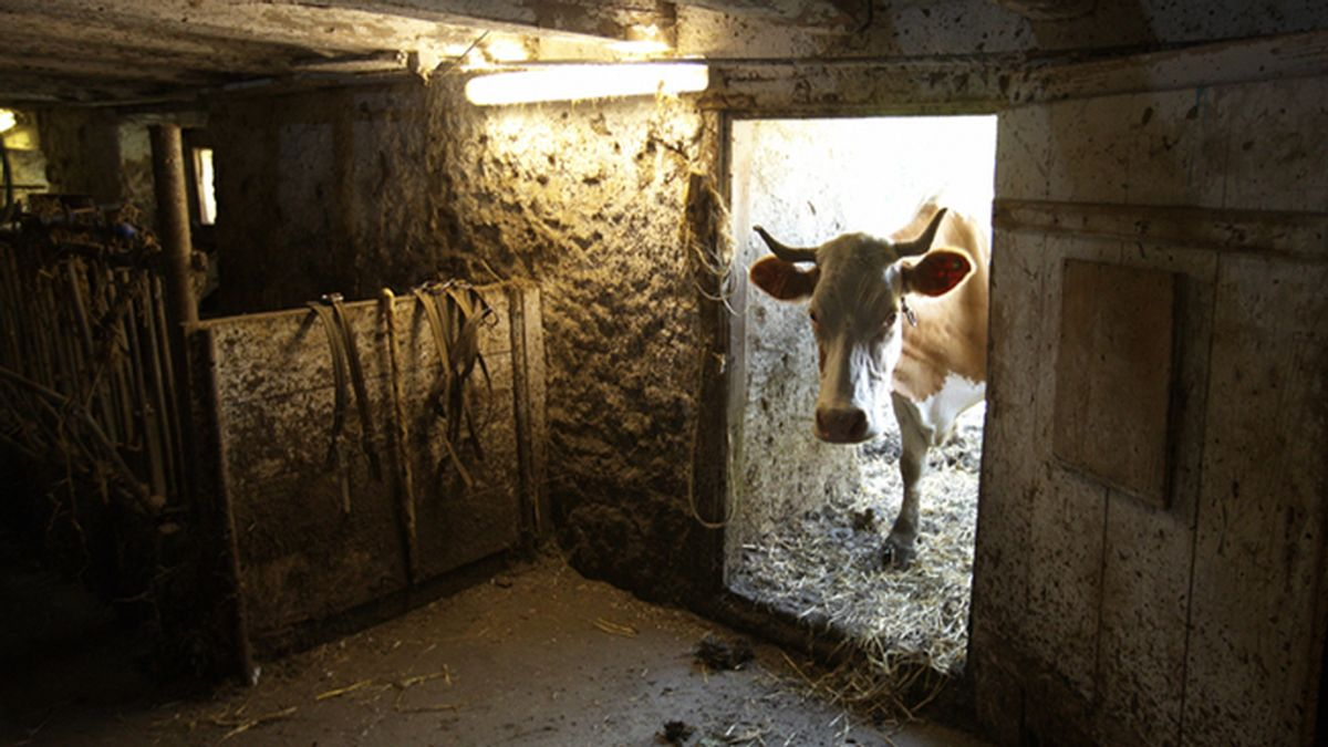 Una vaca 'caída del cielo' mata a un hombre en Brasil