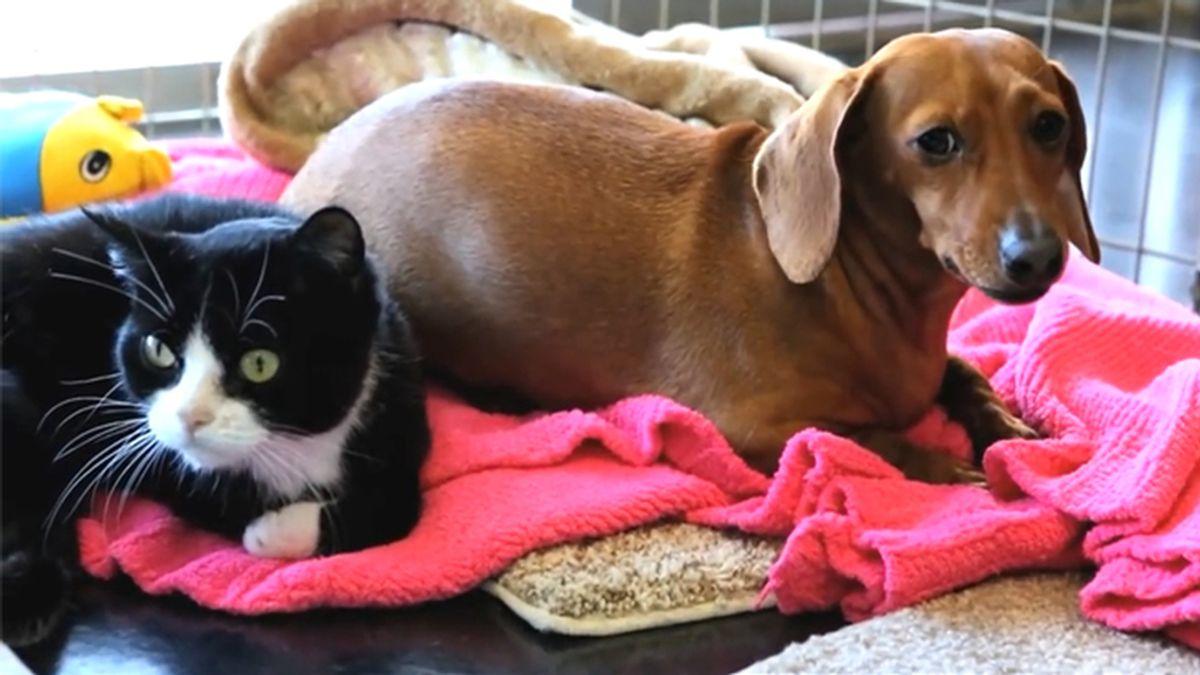 Increíble historia de un perro salchicha que cuida de un gato parapléjico