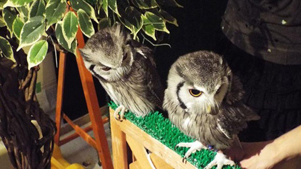 Extravagantes cafeterías de búhos y lechuzas es la nueva tendencia en Tokio