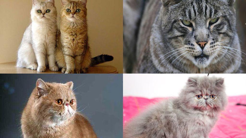 Gato exótico: La mascota perfecta
