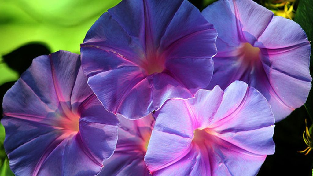 Flor llamada 'morning glory'
