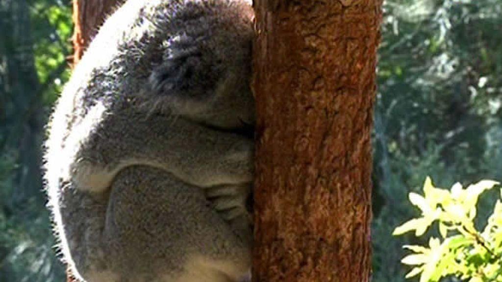 Un animal muy tierno, ¡el Koala!