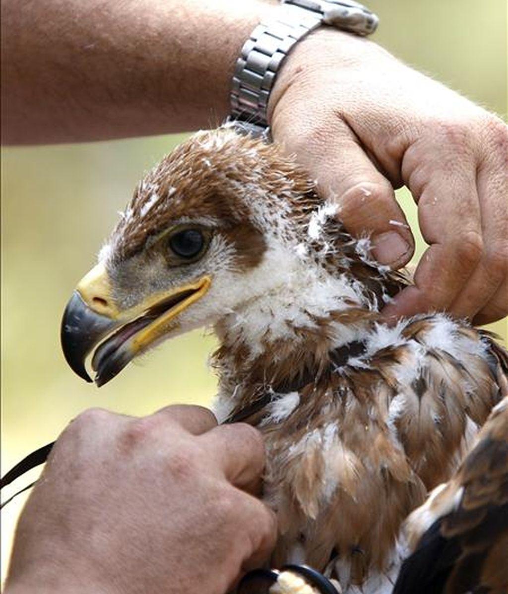 Imagen del proceso de tallaje de un pollo de águila imperial. EFE/Archivo