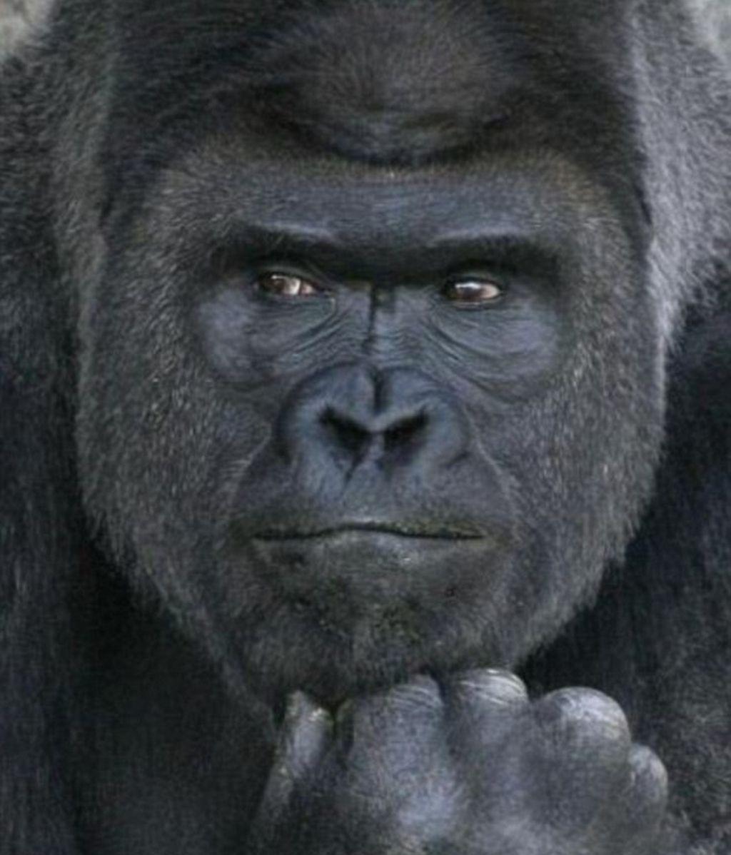 Gorila apuesto
