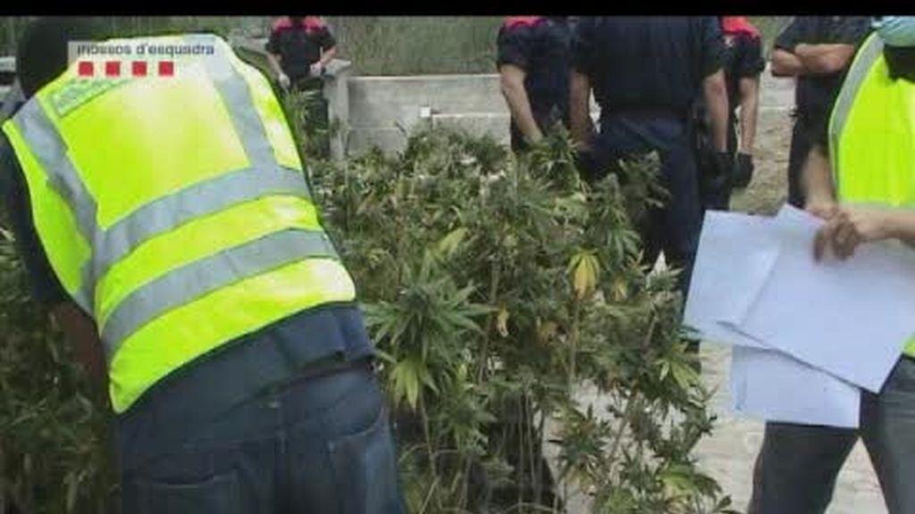 Se duplican las plantaciones de marihuana