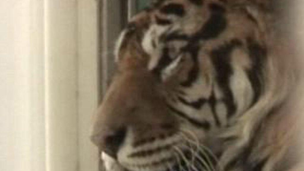 ¿Se puede tener un tigre en casa?