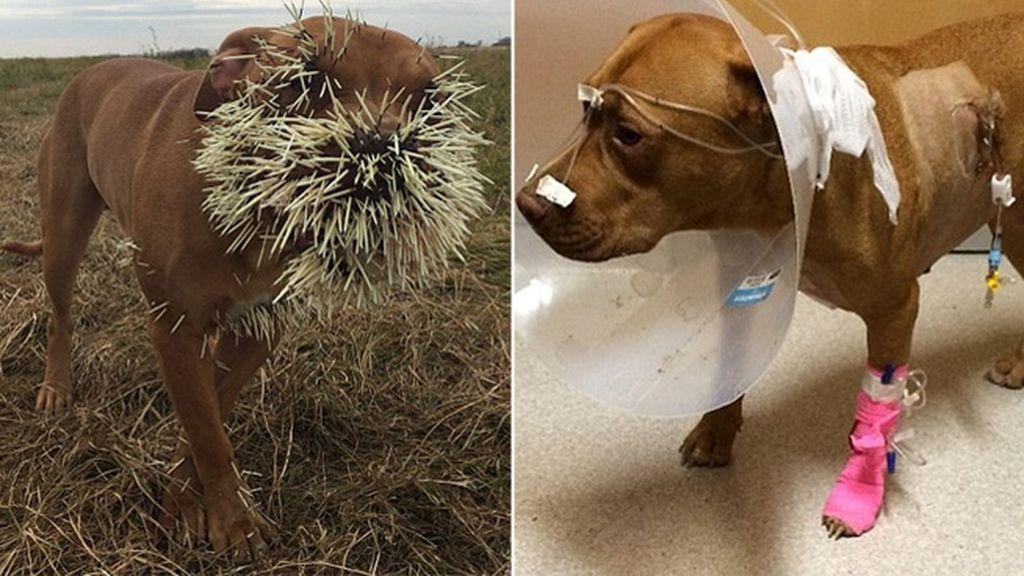 Mahalo y Nestah, heridos por el ataque de un puercoespín