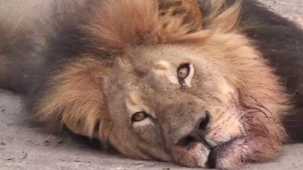 Cecil, león,
