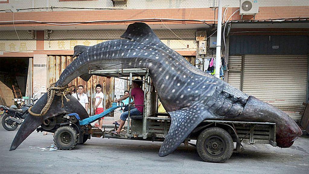 Un pescador chino exhibe su captura. Un tiburón ballena de dos toneladas