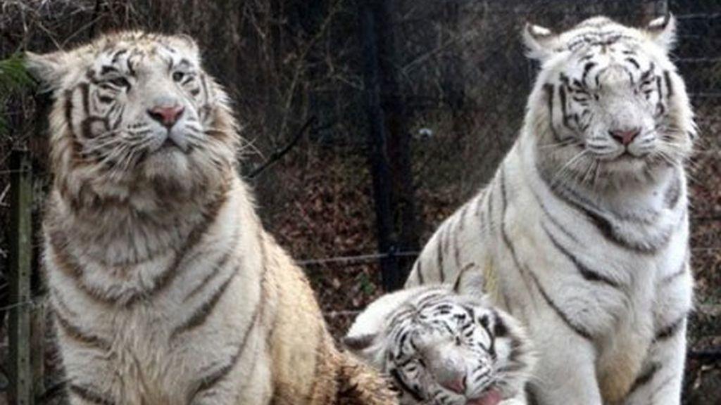 Los tigres blancos, principal atracción del parque Everland en Seul